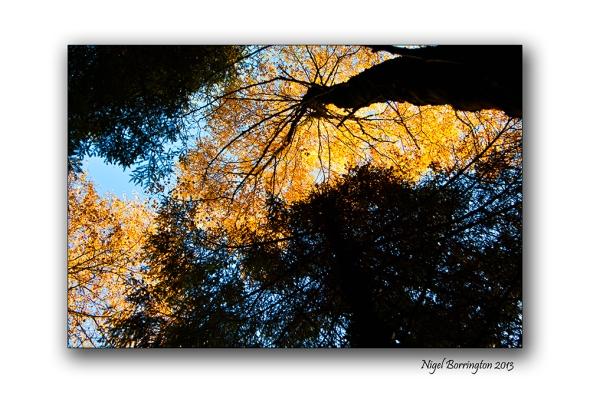 Golden Trees of Autumn 3