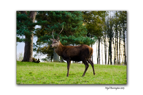 Scottish red deer 1