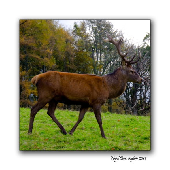 Scottish red deer 2