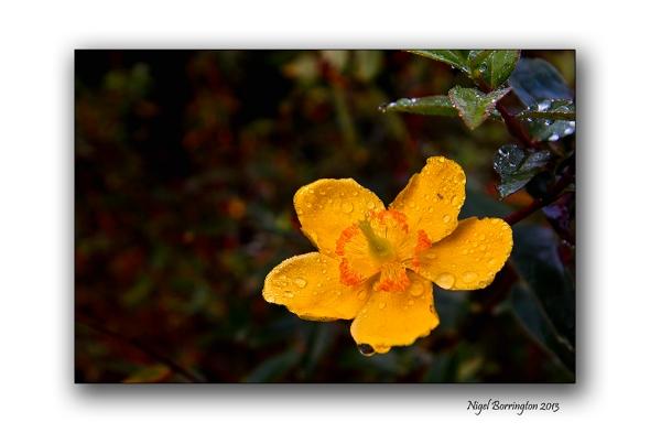 Yellow Tutsan flowwers 1