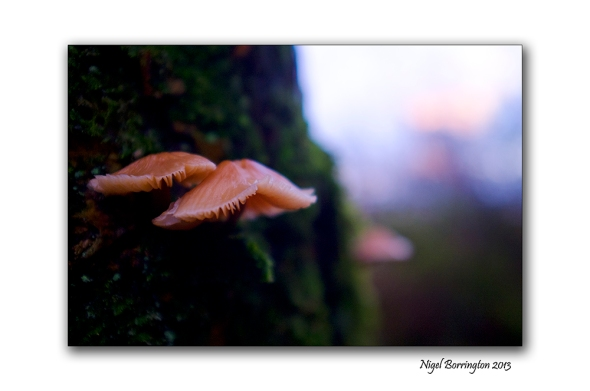 Birch Polypore fungi in January 2