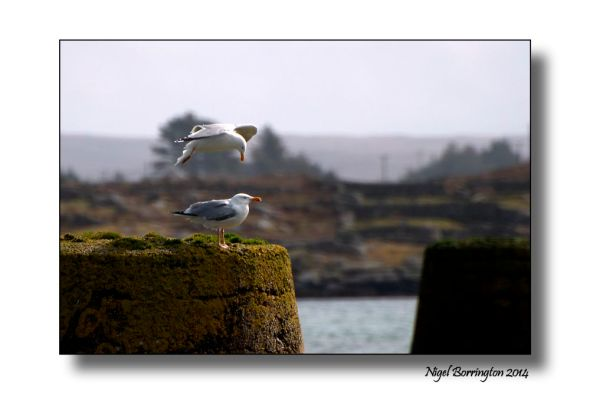 Sea birds of Galway bay 1