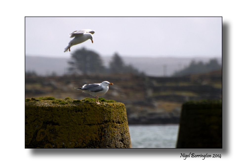 Sea birds of Galway bay 2