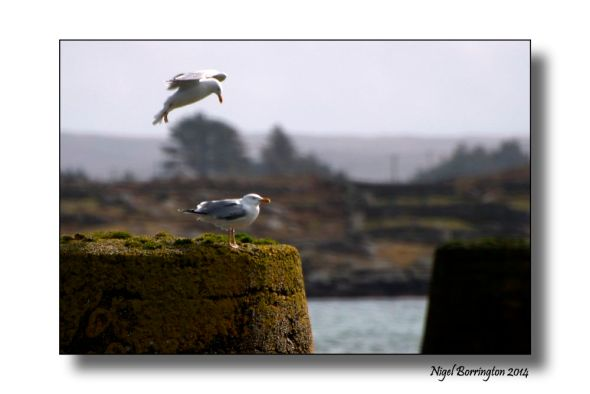 Sea birds of Galway bay 2