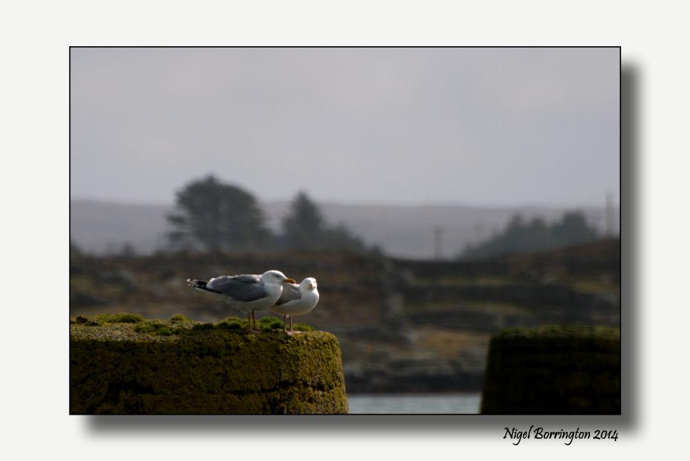 Sea birds of Galway bay 3