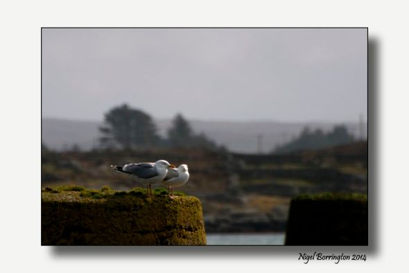 Sea birds of Galway bay 3