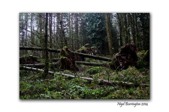 KIlkenny Forests after Storm Darwin 05