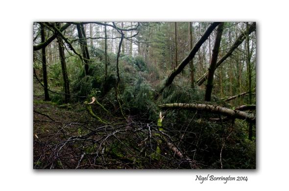 KIlkenny Forests after Storm Darwin 09