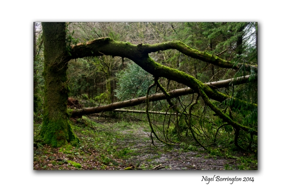 KIlkenny Forests after Storm Darwin 10