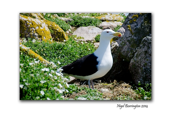 saltees islands 003