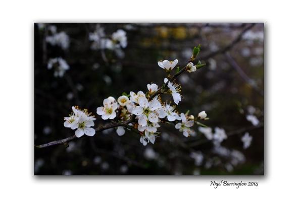 Easter hawthorn bush 01