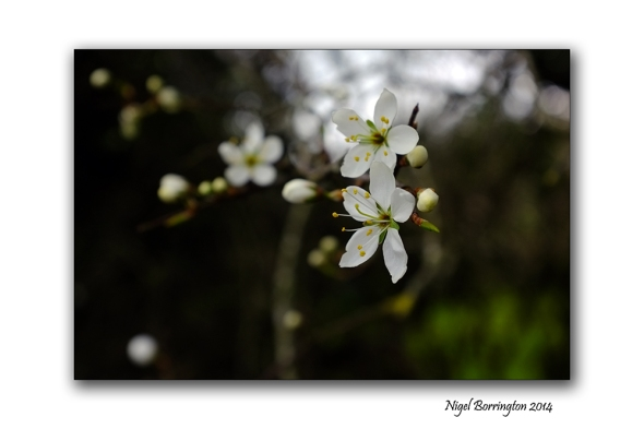 Easter hawthorn bush 02