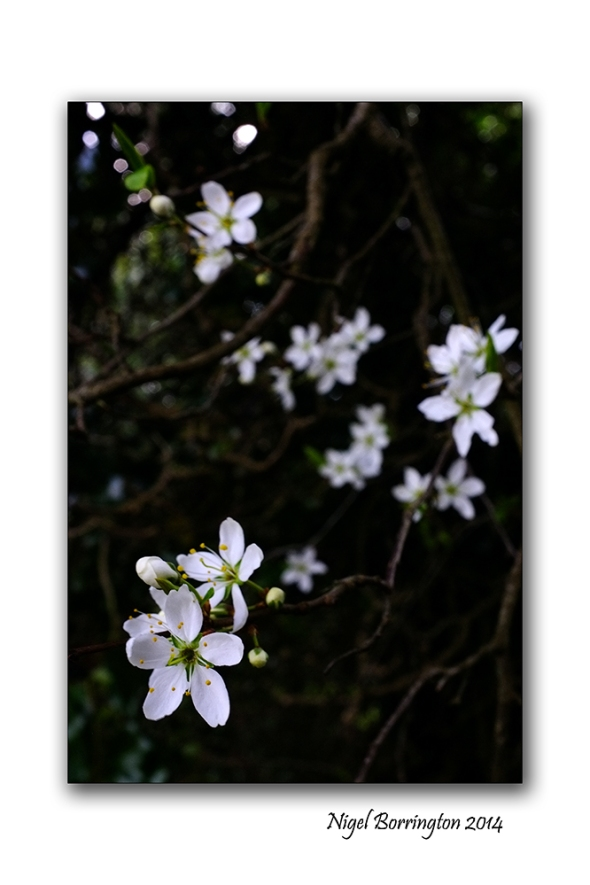 Easter hawthorn bush 03