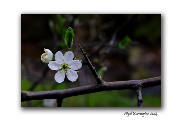Easter hawthorn bush 04