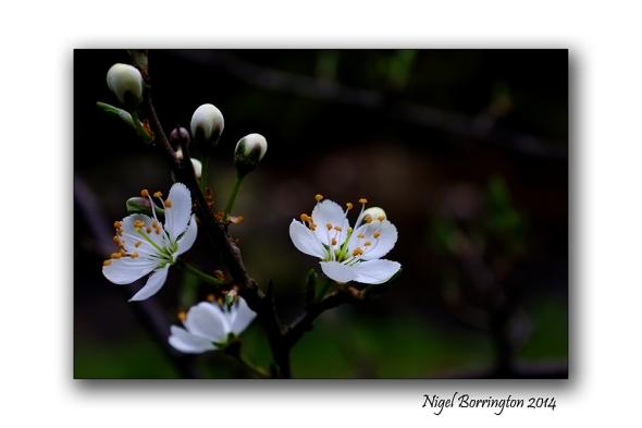 Easter hawthorn bush 05