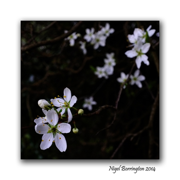 Easter hawthorn bush 06