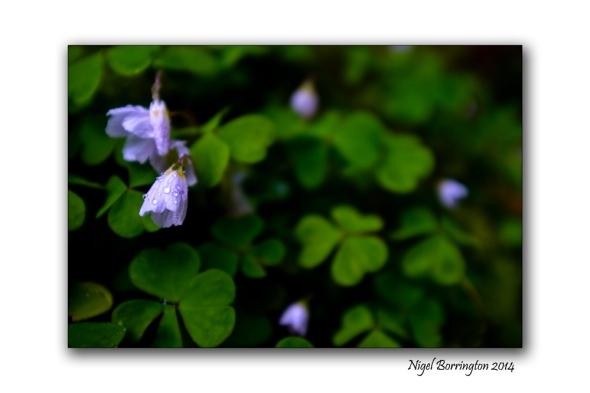 Woodland Sorrel 04