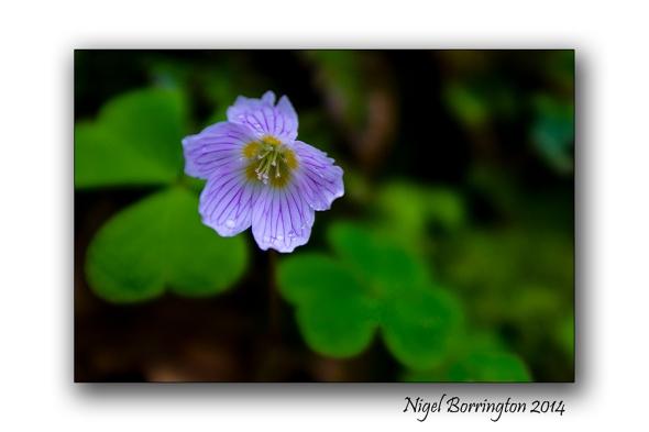 Woodland Sorrel 05