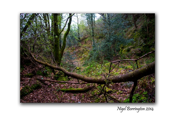 Woodland Sorrel 09