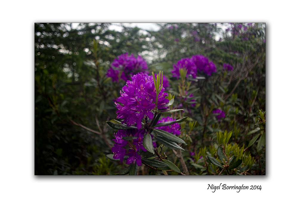 Rhododendron 2