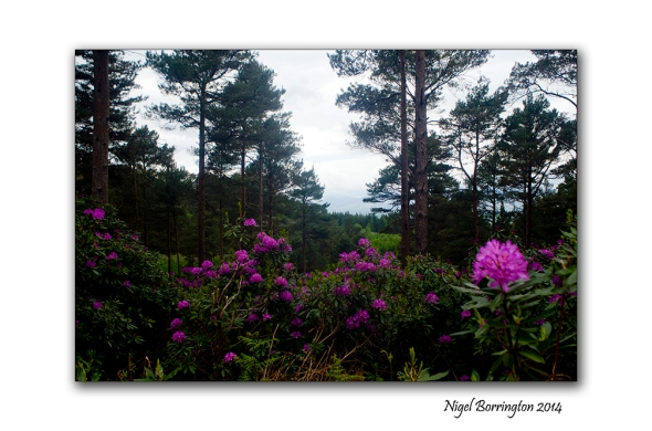 Rhododendron 4