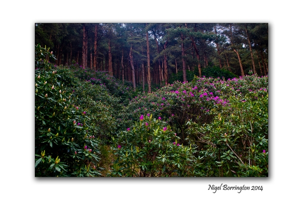 Rhododendron 5