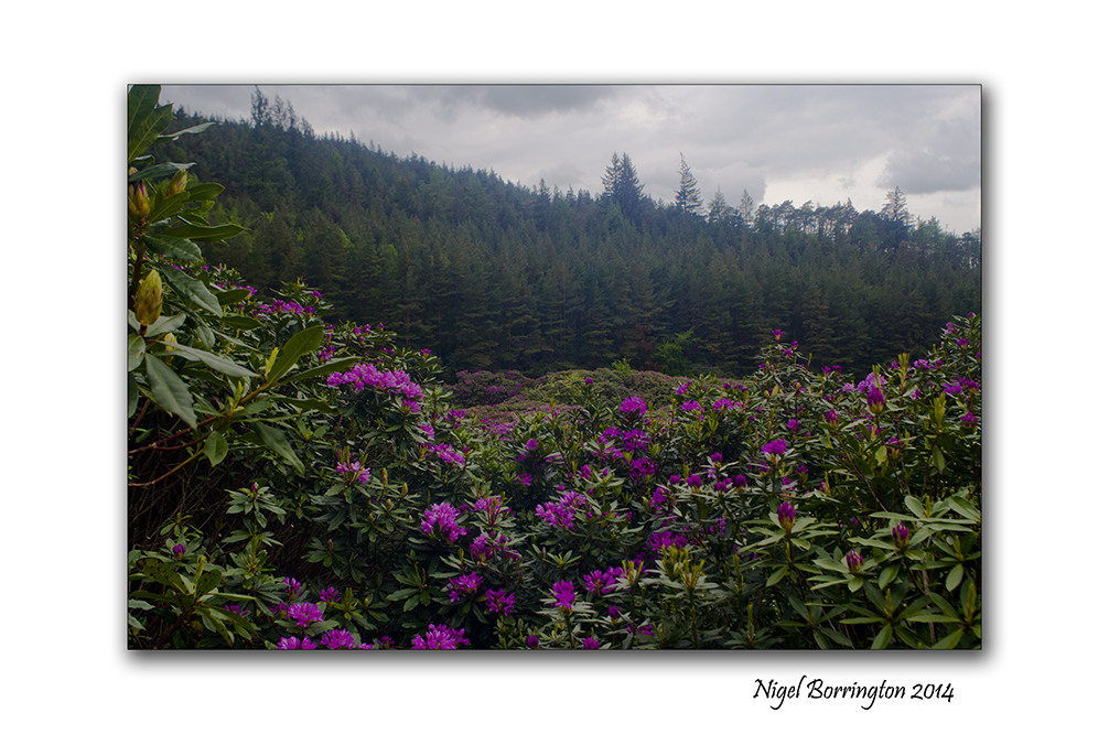 Rhododendron 7