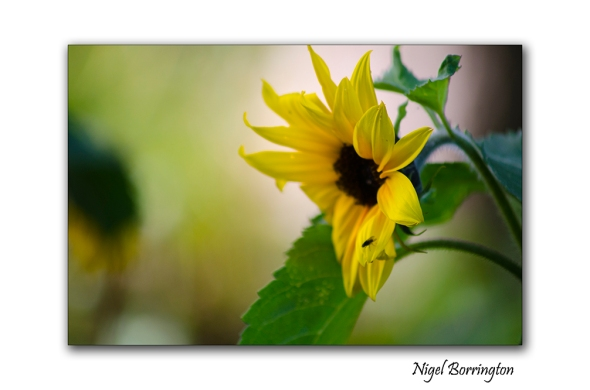 Between the Sunflowers 1