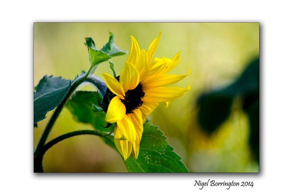 Between the Sunflowers 2