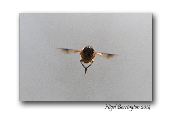 Hover fly 2