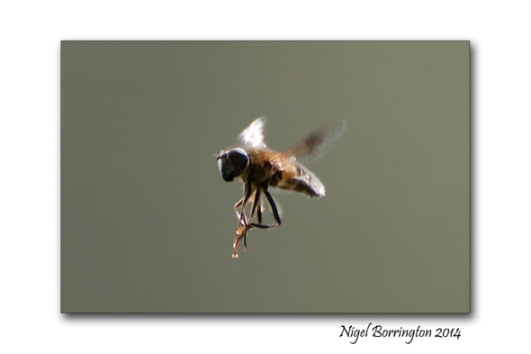 Hover fly 3