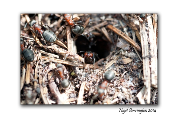 Irish wood ants 1