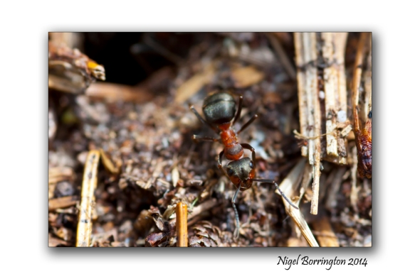 Irish wood ants 2