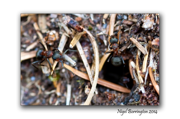 Irish wood ants 3