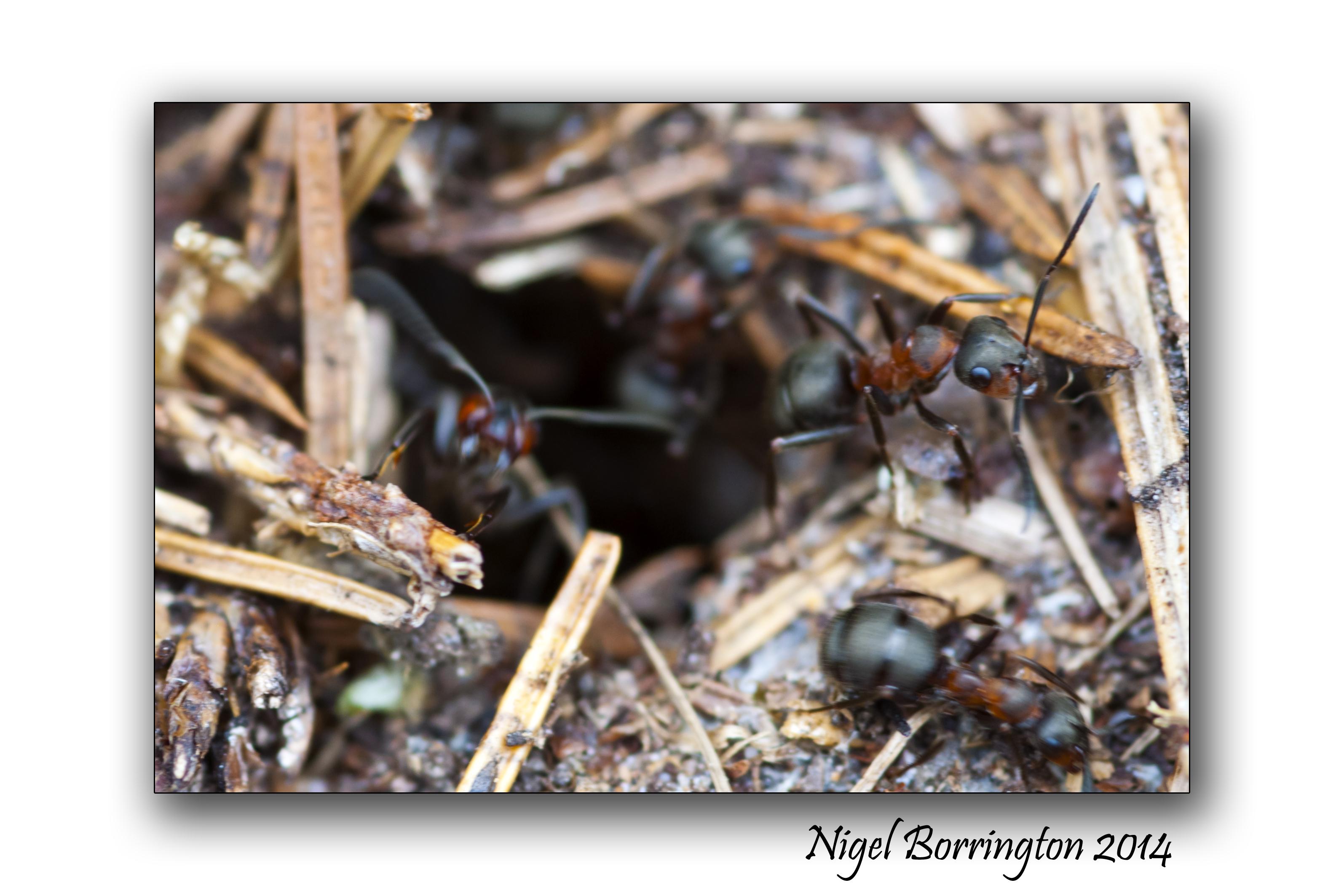 Irish wood ants 4