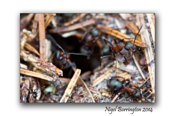 Irish wood ants 4