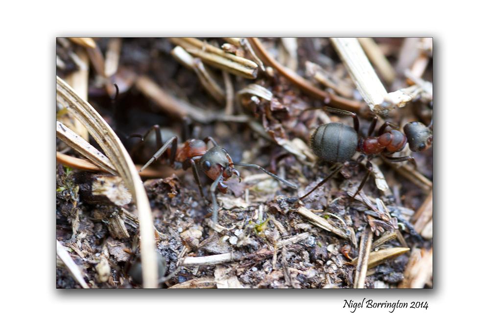 Irish wood ants 6