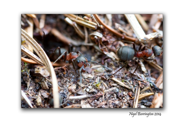 Irish wood ants 6