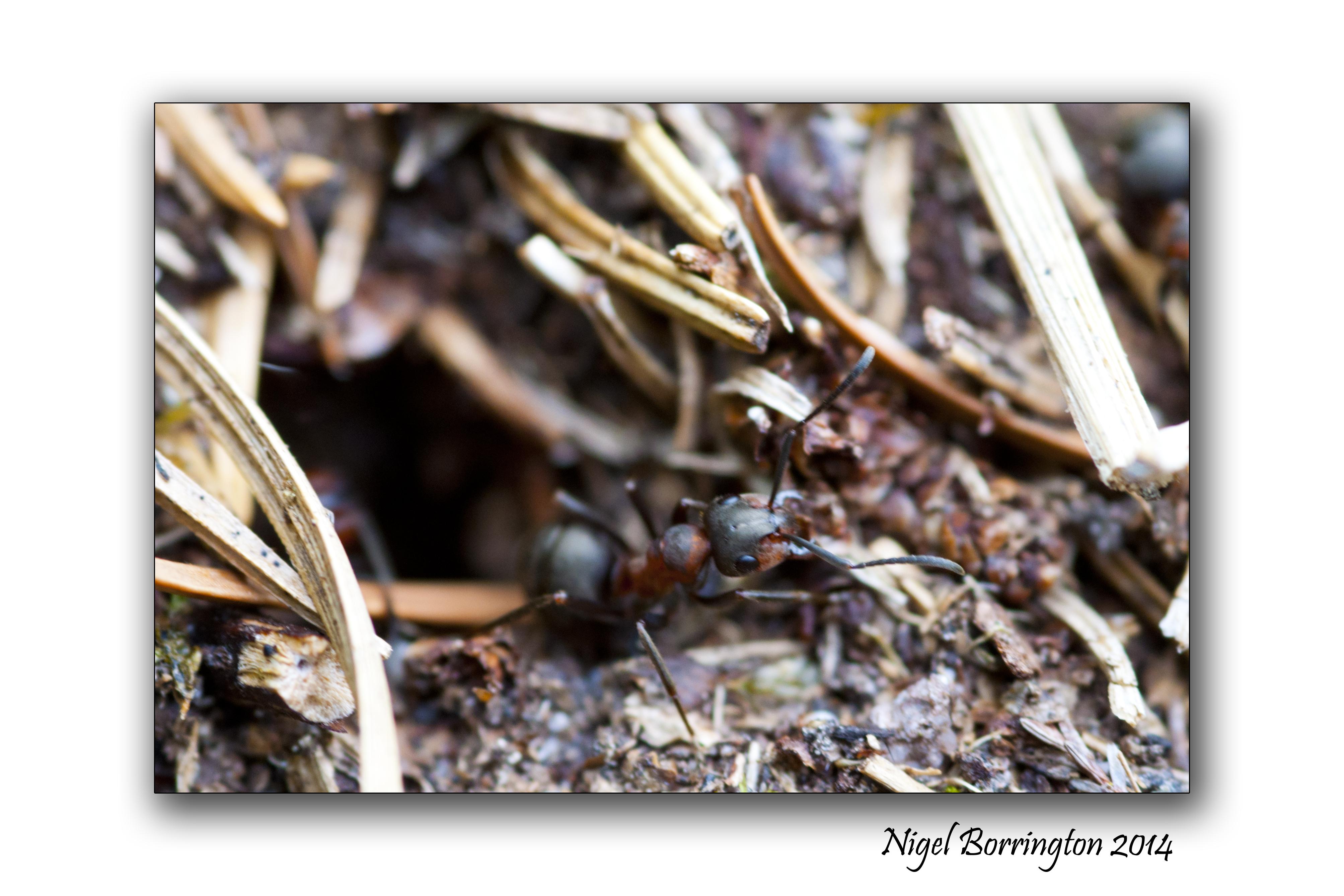 Irish wood ants 7