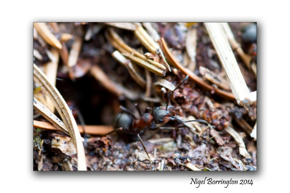 Irish wood ants 7