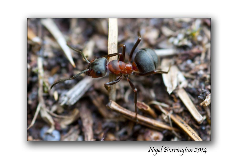 Irish wood ants 8