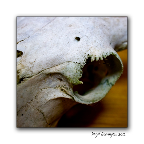 Sheeps Skull oil lamp still life 2