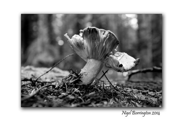 Butter Cap Fungi 1