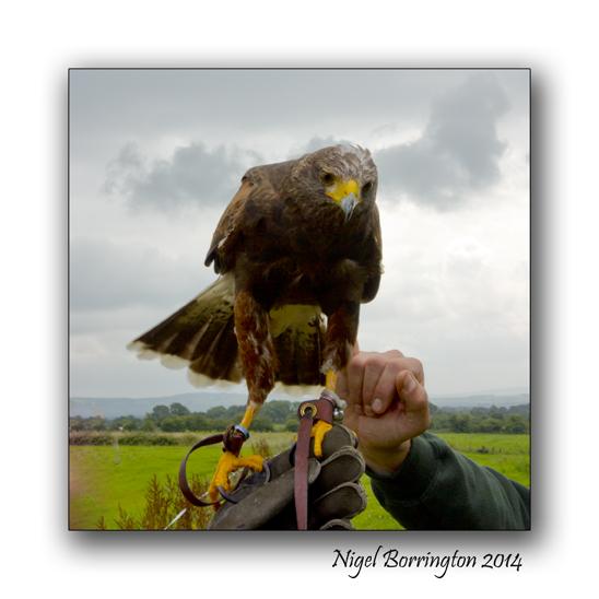 Harris Hawks 1