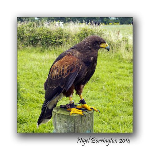 Harris Hawks 2