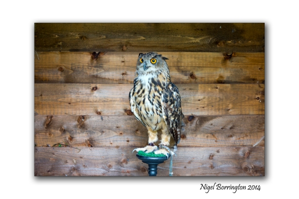 The Eurasian eagle-owl Photography : Nigel Borrington