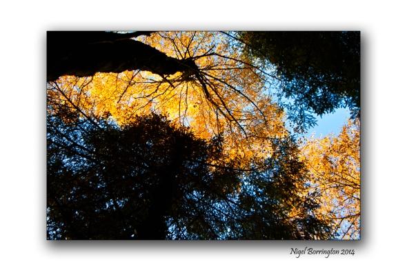 Golden Trees of Autumn 10
