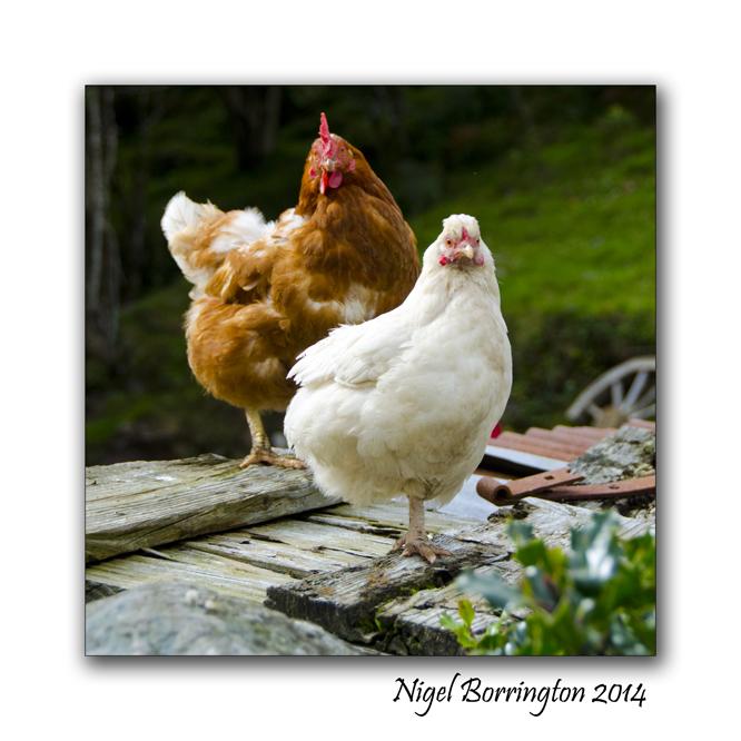 Good morning chickens 1