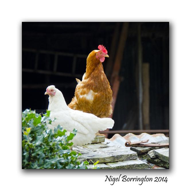 Good morning chickens 2