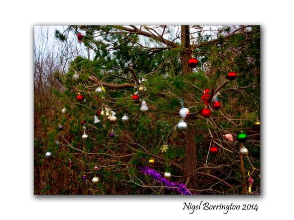 The wild Christmas tree millennium woodlands Kilkenny  Nigel Borrington